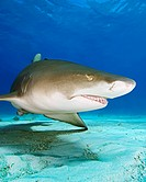 Lemon Shark, Negaprion brevirostris, West End, Grand Bahamas, Caribbean Sea, Bahamas