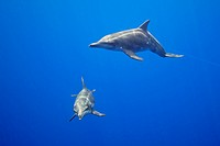 Rough_toothed Dolphin, Mother and Calw, Steno bredanensis, Pacific Ocean, Hawaii, USA