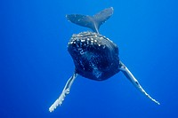 Humpback Whale, Megaptera novaeangliae, Pacific Ocean, Hawaii, USA