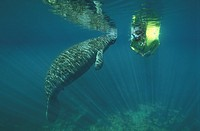 Florida Manatee with diver, Trichechus manatus latirostris, Florida USA