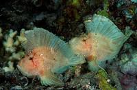 Leaf fish Leaf scorpionfish, Taenianotus triacanthus, Indic Ocean Bali, Indonesia