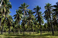coconut trees, Desroches Island Indian Ocean, Seychelles