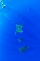 Sicklefin Mobulas, Mobula tarapacana, Azores, Atlantic Ocean, Portugal