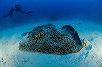 Honeycomb Whip Ray and Scuba Diver, Himantura uarnak, St. Johns Reefs, Red Sea, Egypt