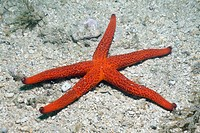 Red Starfish, Echinaster sepositus, Istria, Adriatic Sea, Croatia