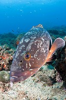 Dusky Grouper, Epinephelus marginatus, Les Ferranelles, Medes Islands, Costa Brava, Mediterranean Sea, Spain