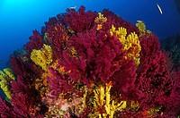 Variable Gorgonians, Paramuricea clavata, Triscavac Bay, Susac Island, Adriatic Sea, Croatia