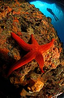 Purple Starfish and Diver, Echinaster Sepositus, Susac Island, Adriatic Sea, Croatia