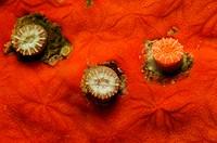 Solitary Coral and different Sponges, Caryphyllia inornata, Brusnik Island, Adriatic Sea, Croatia
