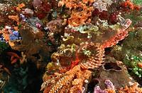 Tassled Scorpionfish camouflaged, Scorpaenopsis oxycephalus, Alor, Lesser Sunda Islands, Indo_Pacific, Indonesia