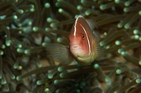 Pink Anemonefish, Amphiprion perideraion, Alor, Lesser Sunda Islands, Indo_Pacific, Indonesia