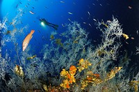 Diver and Black Corals, Anthipathes dichotoma, Svetac, Vis Island, Mediterranean Sea, Croatia