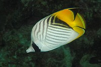 Threadfin Butterflyfish, Chaetodon auriga, Marsa Alam, Red Sea, Egypt