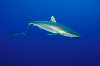 Silky Sharks, Carcharhinus falciformis, Caribbean, Cuba