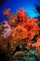 Rich Coral Reef, Sharm el Sheikh, Sinai, Red Sea, Egypt