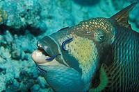 Juvenile Cleaner Wrasse cleaning Titan Triggerfish, Labroides dimidiatus, Balistoides viridescens, Tubbataha Reef, North Atoll, Sulu Sea, Philippines