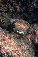 Porcupine Fish, Diodon holacanthus, Playas del Coco, Costa Rica
