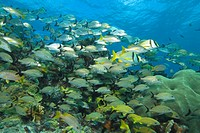 Shoal of Snapper and Grunts, Lutjanus, Haemulon, Isla Mujeres, Yucatan Peninsula, Caribbean Sea, Mexico