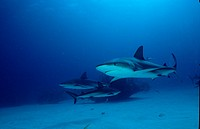 Carribbean reef shark, Carcharhinus perezi, Caribbean Sea, Bahama Bahamas Islands