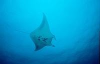 Manta ray, Manta birostris, Indian Ocean Ari Atol, Maldives Island