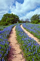 Double tracks of bluebonnet wildflowers through a field of Texas bluebonnets near Sandy, Texas