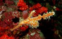Harlequin ghost pipefish, Solenostomus paradoxus, Indian ocean Andaman sea, Burma Myanmar Birma
