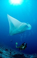 Manta ray and scuba diver, Manta birostris, Indian Ocean Ari Atol, Maldives Island