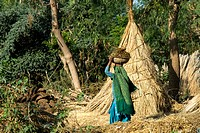 India, Haryana, woman picking up cowpat