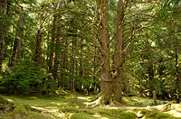 Canada, BC, Haida Gwaii Queen Charlotte Islands, Gwaii Haanas National Park. Temperate rainforest at the abandoned Haida village site, Tanu T'aanuu Ll...