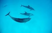 Atlantic spotted dolphin, Stenella frontalis, Atlantic Ocean, Bahamas