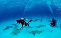 Lemon Sharks and Underwater Photographer, Negaprion brevirostris, Grand Bahama Island, Atlantic Ocean, Bahamas