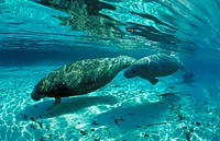 West Indian Manatee, Mother and calf, Trichechus manatus latirostris, Florida, FL, Crystal River, USA