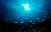Shoal of Lunar Fusilier, Caesio lunaris, Indian Ocean, Meemu Atoll, Maldives