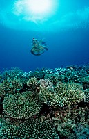 Snorkeling over Coral Reef, Indian Ocean, Meemu Atoll, Maldives