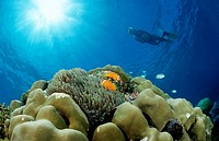 Maldive Anemonefishes and Snorkeler, Amphiprion nigripes, Indian Ocean, Meemu Atoll, Maldives