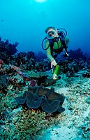 Diver and Giant Clam, Tridacna squamosa, Indian Ocean, Meemu Atoll, Maldives