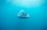 Whaleshark, Rhincodon typus, Ari Atoll, Indian Ocean, Maldives