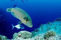 Napoleon Wrasse, Cheilinus undulatus, Blue Corner, Micronesia, Palau