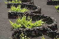 grape vines LA GERIA LANZAROTE Lava dry stone walls protecting grape vines on volcanic ashes field