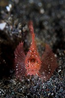 Juvenile Ambon Scorpionfish, Pteroidichthys amboinensis, Komodo, Indonesia
