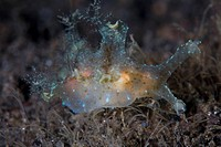 Nudibranch feeds Hydroids, Hancockia sp., Komodo, Indonesia