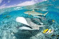 Blacktip Reef Shark and Southern Stingray, Dasyatis americana, Carcharhinus melanopterus, Bora Bora, French Polynesia