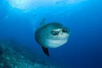 Ocean Sunfish, Mola Mola, Bali Island, Indo_Pazific, Indonesia