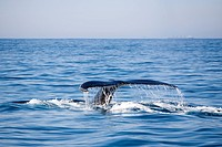 tail of humpback whale, Megaptera novaeangliae, Wild Coast, Transkei, Southeast Africa, Indian Ocean, Mozambique