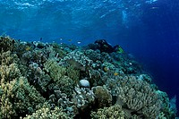 Rich Coral Reef and Scuba Diver, Wakatobi, Celebes, Indo_Pacific, Indonesia