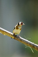 Carduelis carduelis Goldfinch