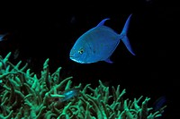 Bluefin Trevally, Caranx melampygus, Ailuk Atoll, Pacific, Marshall Islands