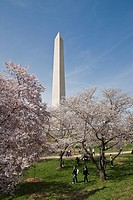 The Washington Monument stands behind cherry trees blossoming in Washington, D C , U S , on Thursday, April 1, 2010  The National Cherry Blossom Festi...