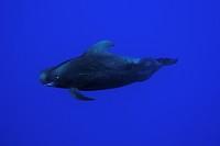 Short_finned Pilot Whale, Globicephala macrorhynchus, Kailua_Kona, Big Island, Hawaii, USA