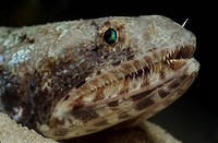 Lizardfish, Synodus dermatogenys, Red Sea Aqaba, Jordan